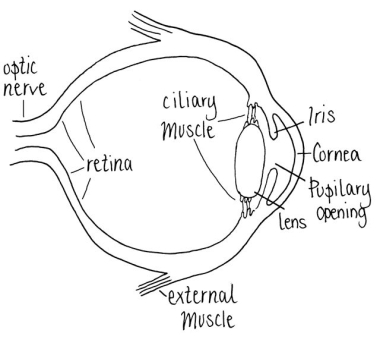 Anatomical Eyeball
