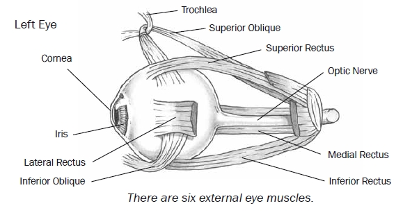 Hyperopic eye muscles